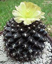 Vista 100 teile/beutel Echte mini kaktus samen,