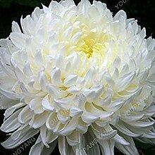 Vista 100 Teile/paket Aster Samen Aster Blume
