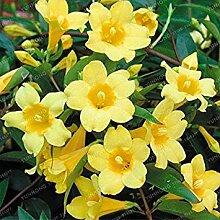 Vista 20 Teile/beutel Gelbe Jasmin Samen Duftende