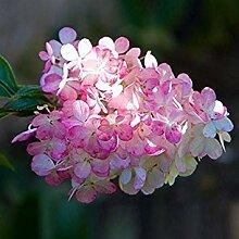Vista 30 Stücke Hydrangea Blumensamen Multi Farbe