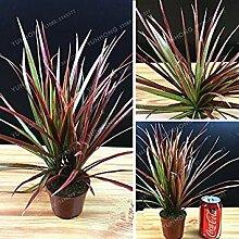 Vista 50 Stücke Zierpflanze Dracaena Marginata