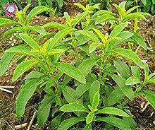 Vista 600 STÜCKE Neue Stevia Samen Stevia
