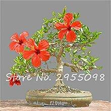 Vista Zimmer Zierpflanze Mini Bonsai Hibiscus