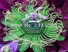 Vista Zimmerpflanze Mixed Passion Blumensamen