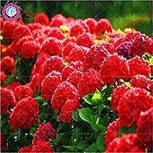 Vistaric 10 teile/paket Rote Hortensie Samen