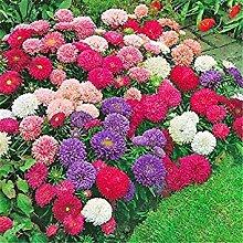 Vistaric 100 STÜCKE Chrysantheme samen Gazania