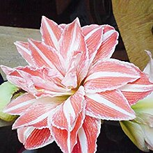 Vistaric 100 Stücke Flowerrecord Hippeastrum