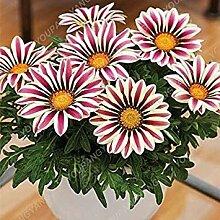 Vistaric 100 Stücke Gazania Rigens Blumen Samen