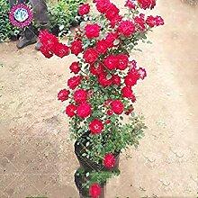 Vistaric 100 Stücke Klettern Rose Samen, Seltene