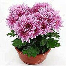 Vistaric 100 stücke Mini Chrysantheme Samen