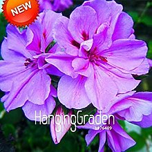 Vistaric 100 stücke Regenbogen Chrysantheme
