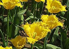 Vistaric 100 teile/beutel Bonsai Tulip Seeds