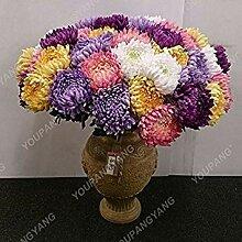 Vistaric 100 Teile/paket Aster Samen Aster Blume