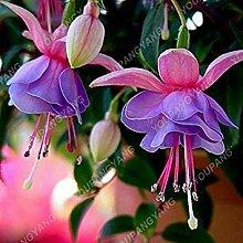 VISTARIC 13: Phalaenopsis Seeds Staude