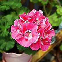 VISTARIC 15: Import Hydrangea-Blumensamen, Multi