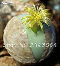 VISTARIC 19: Import Hydrangea-Blumensamen, Multi