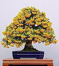 VISTARIC 1bag = 100pcs Japanrot Blumenbaumsamen