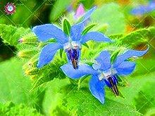 Vistaric 20 STÜCKE Seltene Blaue Borretsch Samen