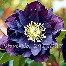VISTARIC 22: Import Hydrangea-Blumensamen, Multi