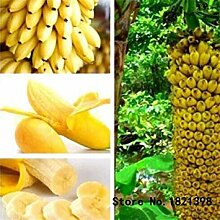 Vistaric 30 Stücke Zwerg Banane Samen Bonsai