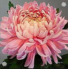 Vistaric 50 Samen/Beutel Bodendecker Chrysantheme