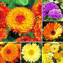 Vistaric 50 stücke calendula samen zimmerpflanze