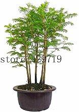 Vistaric 50 stücke Metasequoia bonsai tree Dawn