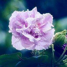 Vistaric 50 teile/beutel Hibiscus mutabilis samen
