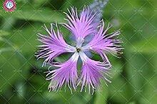 VISTARIC 6: Import Hydrangea-Blumensamen, Multi