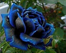 Vistaric Blume Rosensamen 25 Arten Rosensamen,