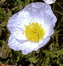 VISTARIC Eingemachte Blumensamen Aquilegia