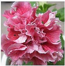 Vistaric Garten Petunia Federball Blume Horn
