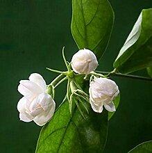 Vistaric Hot White Jasmin Blumensamen Duftende
