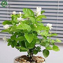 Vistaric Jasmin Samen Bonsai Blumensamen