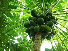 Vistaric Obst samen bonsai Carica papaya samen