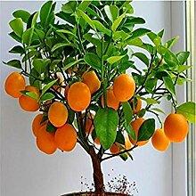 Vistaric Obst samen Zwerg Stehen Orangenbaum samen