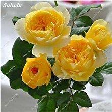 Vistaric Rose Blumensamen von mehrjährigen Garten