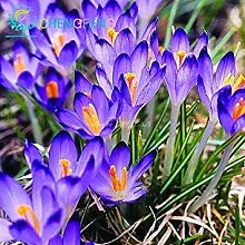 VISTARIC Spezielle duftend Blumensamen Lobularia