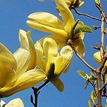 VISTARIC White: Chrysanthemum Samen beständige