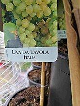 Vitis Vinifera da Tavola 80-100 cm Stämmchen -