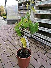 Vitis Vinifera Moscato Bianco 80-100 cm Stämmchen