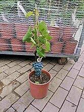 Vitis Vinifera Sangiovese 80-100 cm Stämmchen -
