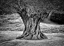VLIES Fototapete-OLIVENBAUM-250x186 cm-5