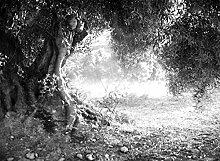 VLIES Fototapete-OLIVENBAUM-300x223 cm-6