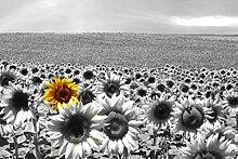 VLIES Fototapete-SONNENBLUMENFELD-500x280 cm-10