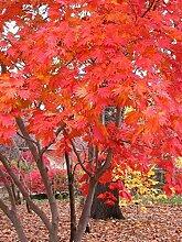 Vollmond-Ahorn, Acer japonicum, 30 Baumsamen