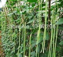 vonly Öl Weiße Bohnen Samen für den Hausgarten