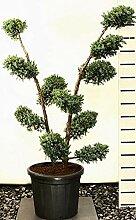 Wacholder Bonsai, Höhe: 140-150, Juniperus