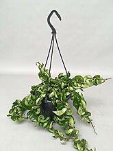 Wachsblume 30 cm Ampel Hoya carnosa Compacta