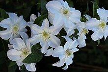 Waldrebe 'Huldine' Clematis viticella 'Huldine' Kletterpflanze mit weißen Blüten im Topf gewachsen bis 150cm (100-150cm)